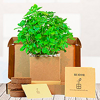 Basil Herb Kit