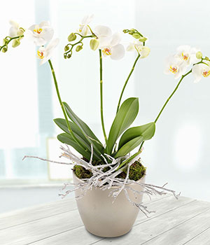 stunning white phalaenopsis orchid in silver ceram