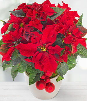 red christmas poinsettia - Red Christmas Flowers