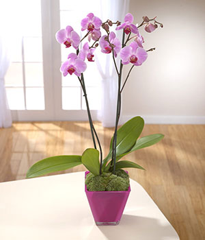 beautiful purple orchid in a purple container deli