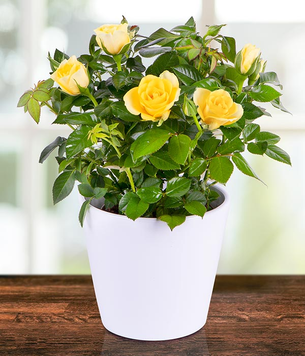 Potted Yellow Rose Plant