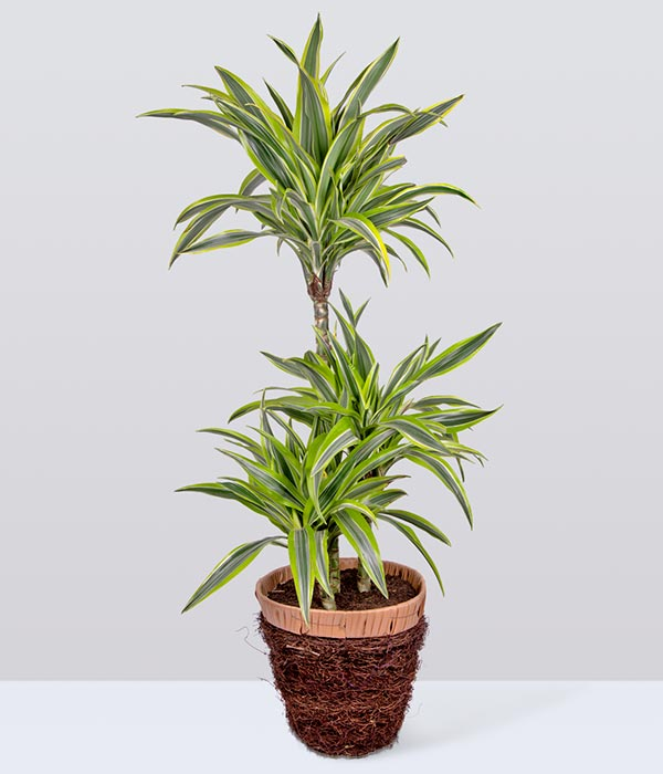 Large Dragon Tree Plant