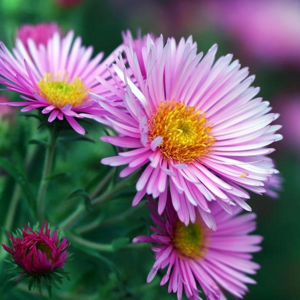 Aster September Birth Flower