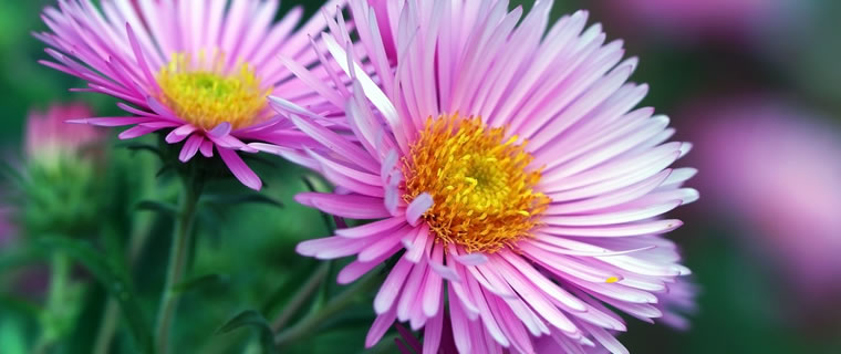 Asters September Birth Flower