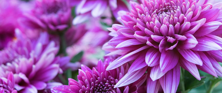 Chrysanthemum November Birth Flower