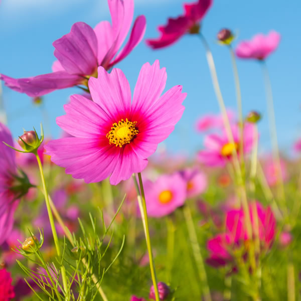 Cosmos October Birth Flower
