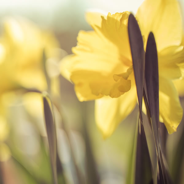 Daffodil March Birth Flower