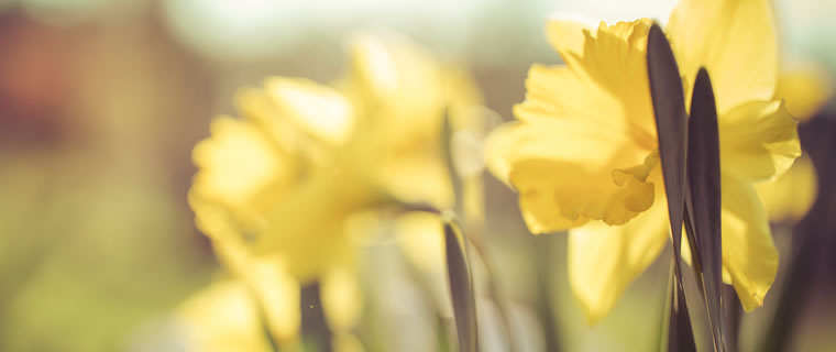 Daffodil March Birth Flower