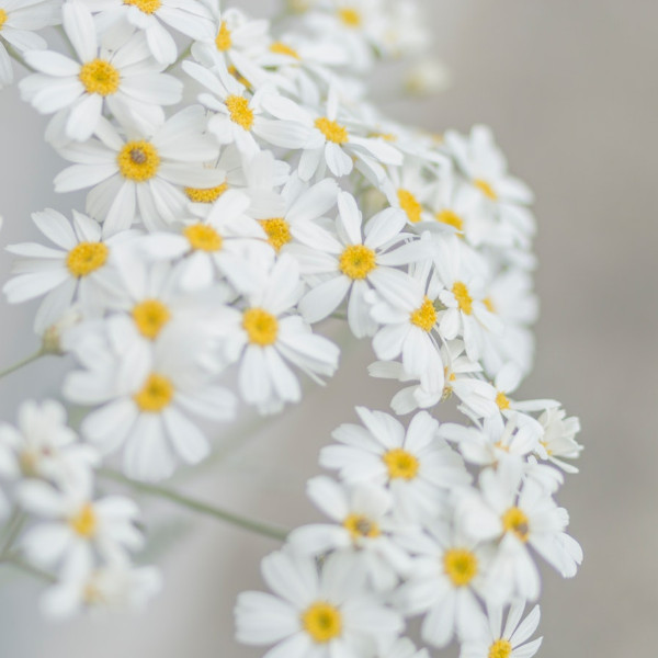 Daisy April Birth Flower