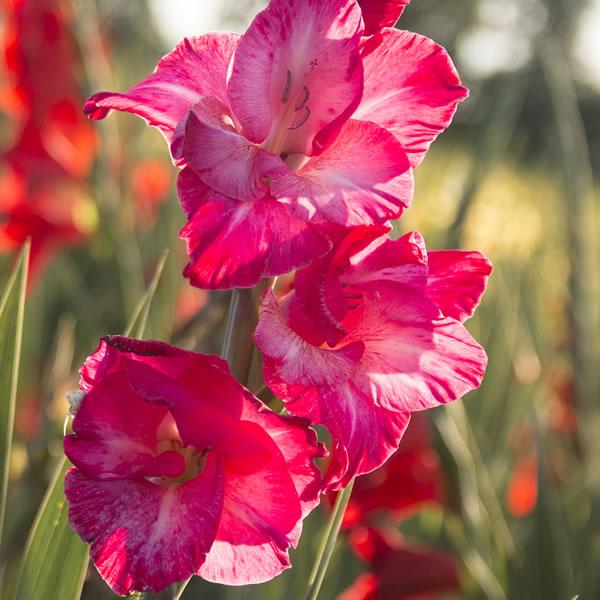 Gladiolus August Birth Flower