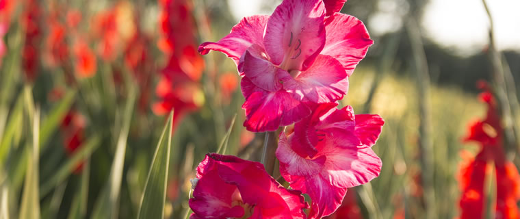 Gladiolus August Birth Flower
