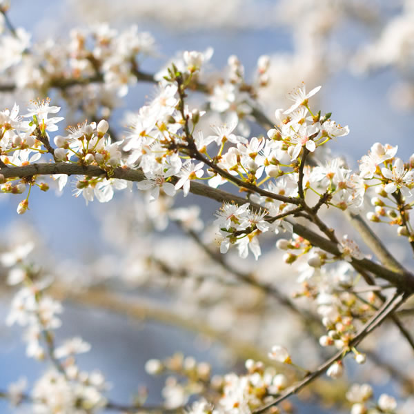 Hawthorn May Birth Flower