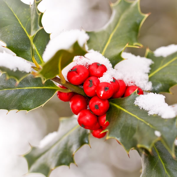 Holly December Birth Flower
