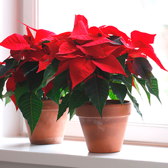 Christmas plant image