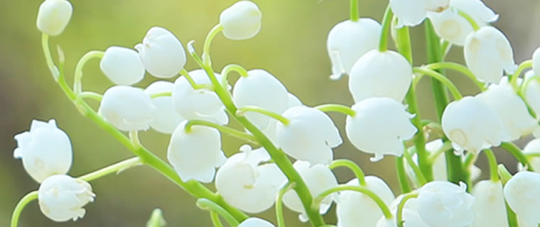 Lily Of The Valley May Birth Flower