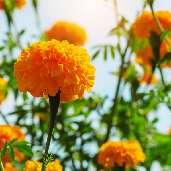 Calendula October Birth Flower