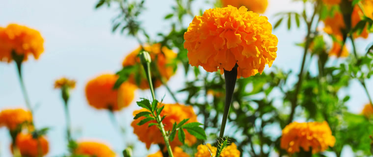 Marigold October Birth Flower