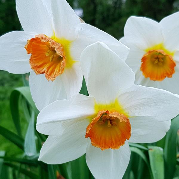 Paperwhites December Birth Flower