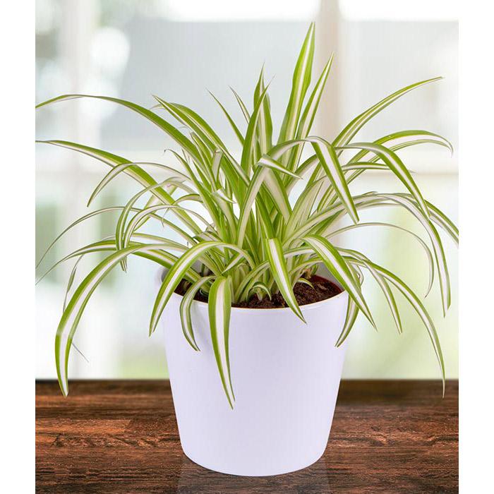 Spider Plant Care