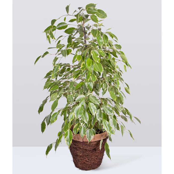 Weeping fig care