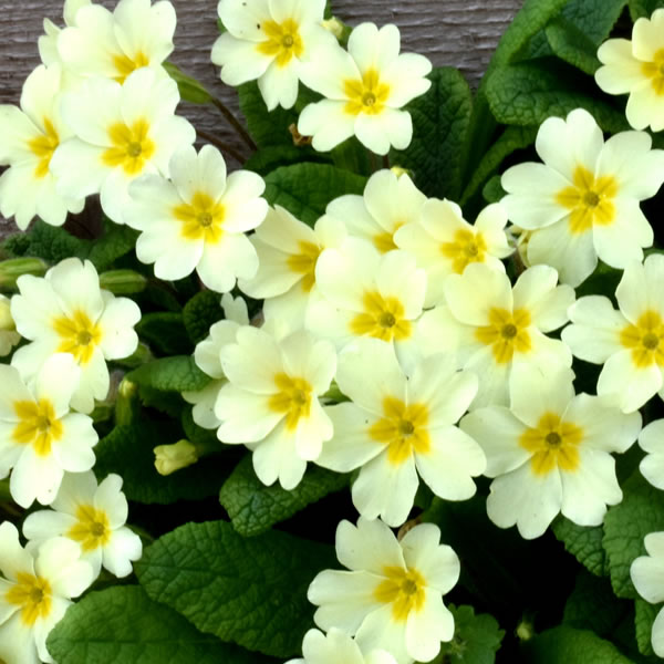 Primrose February Birth Flower