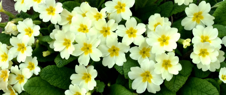 Primrose Birth Flower February