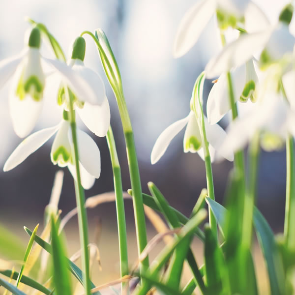Snowdrop January Birth Flower